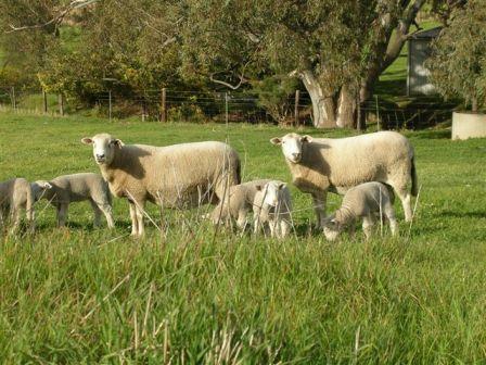 kars pastoral wiltipoll breed description